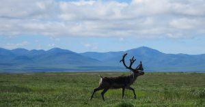 What the Caribou Taught Me About Being Together, and Apart